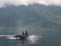Frontier (@FrontierGap) | www.frontiergap.com | blog.frontiergap.com | #orca #whale #Canada #worldorcaday #conservation #dolphin #marine