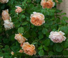 A Rose is a Rose... Crown Princess Margareta