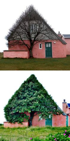 Tree in Denmark conforms to the outline of the house to hide from the wind. photographer Marianne Kjølner
