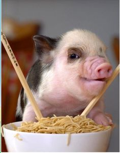 """""""I am NOT a mini, micro nor teacup. The truth is , the supposedly """"tiny"""" pigs do NOT Exist !"""" And I do NOT eat Noodles! Pet Pigs, Baby Pigs, Animals And Pets, Baby Animals, Cute Animals, Cute Piglets, Pot Belly Pigs, Teacup Pigs, Mini Pigs"""