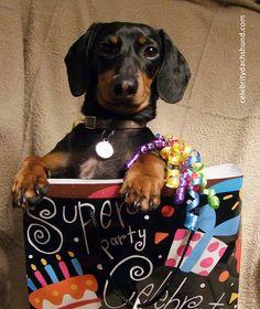Dachshund in a Gift Bag by Crusoe the Celebrity Dachshund, via Flickr