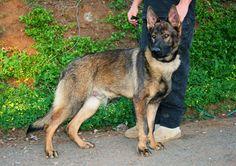 Mein 100% DDR German Shepherd