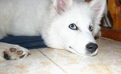 Якутская лайка Ахсу, мама щенков elena.aranai@mail.ru