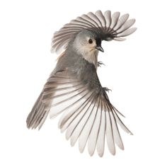 Photo by David Liittschwager of a tufted titmouse at the Hallett Nature Sanctuary in NYC's Central Park. As seen in the book One Cubic Foot.