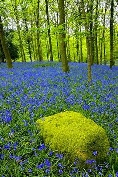 Moss Covered Rock and Bluebells ~ Forest of Dean, Gloucestershire, England
