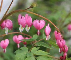 024aeeba2888af0eccf7b0aee3c970f5--bleeding-heart-flower-bleeding-hearts.jpg (640×546)