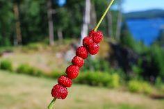 Smultron ... alpine strawberries