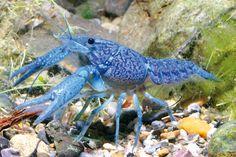 Tutte le sfumature dell'azzurro e del blu per questo simpaticissimo gamberetto. #blue #shrimp #fish #fishtank #acquario