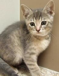 Heather is an adoptable Tabby - Grey Cat in Plainfield, IL. Heather is a beautiful female silver Tabby domestic short hair kitten.  She was born 03/23/13 and has been raised in a foster home.  Her fos...