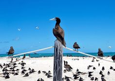 I took a trip to Northern Queensland. On a day out on the reef our tour guide took us to Michaelmas Cay. The Sandilands is covered in birds with no vegetation to speak of. Very photogenic too. #michaelmascay #birds #birdwatching #sandbar #cairns #gbr #greatbarrierreef #ornathology #vsco #vsco #australia #australiagram #queenslandtourism #queensland #australiantourism #symmetry #vscoaus #vscoaustralia @australia #picoftheday by mylestrundle http://ift.tt/1UokkV2