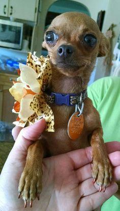 History and Origins of Chihuahuas | I Love My Chihuahua
