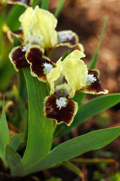 unusual little guy Iris Flowers, Types Of Flowers, Planting Flowers, Amazing Flowers, Love Flowers, Colorful Flowers, Clematis, Orchid Plants, Orchids