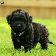 Feather is a sweet Miniature Labradoodle puppy with a joyful spirit. This active pup is vet checked, up to date on shots and wormer, plus comes with a health guarantee provided by the breeder. Feather is family raised and loves being around children. To find out how you can welcome home this fun-loving pup, please contact Steve today!