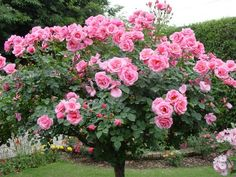 Beautiful Pink Rose Tree♡ magnifique rosier *+