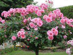 Beautiful Pink Rose Tree♡