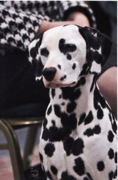 angle dalmatian | used without written consent