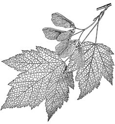 Maple leaves - neat company - lovely coloring and activity books for kids and grown ups!