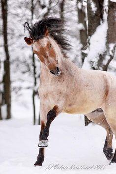 Bashkir Pony