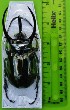 "Giant Black Atlas Beetle Chalcosoma caucasus Male 95mm 3 3/4"" FAST SHIP FROM USA"