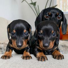 Dachshund puppies 25 days old. Doxie Puppies, Dachshund Puppies, Weenie Dogs, Dachshund Love, Cute Dogs And Puppies, Funny Dachshund Pictures, Doggies, Black Puppy, Silly Dogs