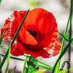 Coada-Calului Vindecă Osteoporoza și Încetinește Îmbătrânirea | La Taifas Rose, Flowers, Plants, Pink, Plant, Roses, Royal Icing Flowers, Flower, Florals