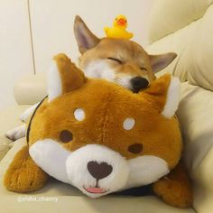 Shibe should sleep soon! so sleep well and have sweet dreams, butter has to go soon to class. Happy Animals, Cute Funny Animals, Animals And Pets, Cute Cats, Shiba Inu, Buy A Dog, Teddy Toys, Kawaii Plush, Beautiful Dogs