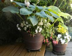 Collection of garden pots with hosta that have gone mad.