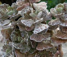 Kalanchoe rhombopilosa | Flickr - Photo Sharing!