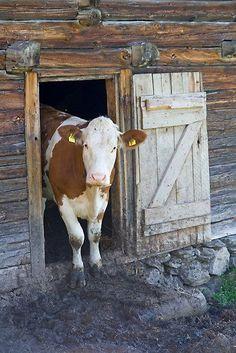 hello cow... moooo!