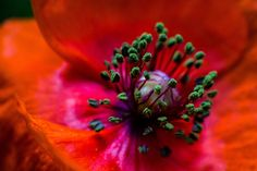 Week 47: Mick Agterberg just won #picoftheweek47.  You can find more pictures like this in the following groups : https://www.tsu.co/groups/macrophotography - Macro photography  #originalcontent #bloem #flower #macro #plant  #poppy