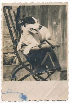 Beautiful white dog with black spot, Jack Russell Terrier, old orig photo