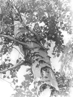 pencil drawing summer birch