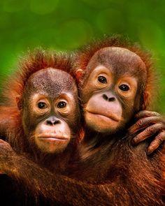 Картинки по запÑ€осу orangutan hug