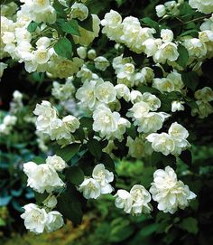 Fragrance in the Wild Western Garden: Philadelphus