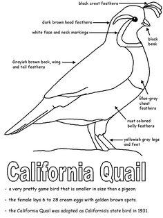 QUAIL UNIT - California State Bird | California state bird (California Quail)