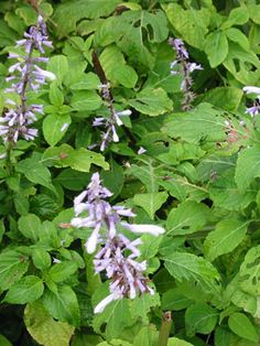 Reach the divine spirit by using salvia divinorum.  Using salvia for peace is the best way to make the life happy. Using salvia divinorum for health purpose is good.