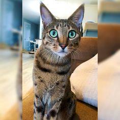 F4 Savannah Cat - Green Eyes