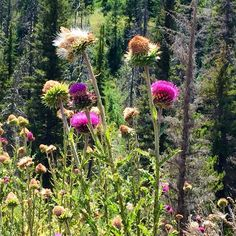Thistles... Sounds crazy but maybe the most beautiful thing that I saw on my trip to Utah.  #thistles #uintanationalforest #backcountryflyfishing #Provoriver #flyfishing #backcountry