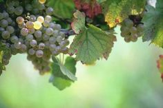 Grapes (Vitis spp.) don't need much fertilization in U.S. Department of Agriculture plant hardiness zones 2 through 10, with deep root structures that can draw nutrients from well below the ...