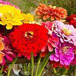 Vznešené lilie na zahradě kvetou od jara do podzimu - Okrasná zahrada Plants, Lilies, Flora, Plant