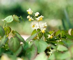 """shade perennial epimedium. """"Niveum"""" has white flowers. ground cover, about 1 foot tall. tolerates dry shade, rabbit resistant.  looks good with yellow corydalis."""