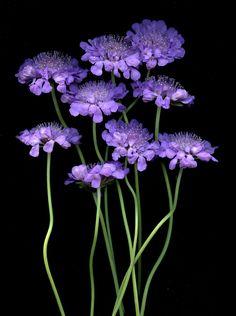 Purple Scabiosa on Black Background Hd Flowers, Purple Flowers, Beautiful Flowers, Gladioli, Black Canvas Paintings, Dark Photography, All Things Purple, Arte Floral, Gerbera