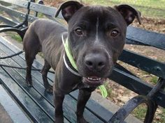 Manhattan Center STEALTH - A1019601 MALE, BLACK / WHITE, PIT BULL MIX, 1 yr STRAY - STRAY WAIT, NO HOLD Reason STRAY Intake condition EXAM REQ Intake Date 11/03/2014, From NY 10456, DueOut Date 11/06/2014, https://www.facebook.com/photo.php?fbid=899784106701136