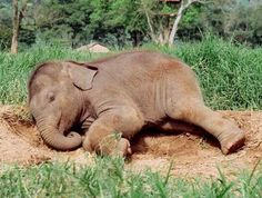 Billedresultat for african elephant baby sleeping Adopt An Elephant, Elephant Love, Elephant Art, African Elephant, Elephant Tattoo Meaning, Elephant Tattoos, Animals And Pets, Baby Animals, Cute Animals