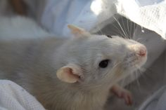 Ange au soleil (rat) Rat Rat, Les Rats, Fancy Rat, Pink Sugar, Fun Learning, Snuggles, Faces, Pets, Sweet