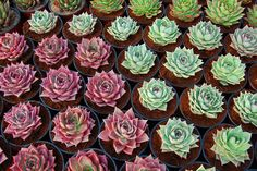 Echeveria agavoides. by Leo_González, via Flickr