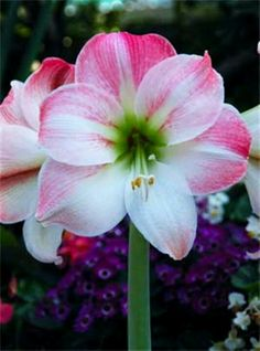 Amaryllis- This is a symbol of success after hard struggles. These are also given to someone for doing a great job. «----defiantly getting this next.
