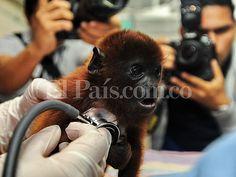 Imágenes: animales víctimas de tráfico volverán a la selva amazónica | EL PAIS
