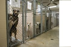 """The shelter has seventy kennels. Most contain two dogs each, and the puppy kennels can hold up to six. The dogs are conditioned, having been here long enough to know the drill, and they are poised and coiled, waiting to hurl themselves through the guillotine doors when Lindsay lifts and lowers them, locking the dogs out. --from """"Kitten Season"""""""