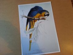 Large Vintage Blue and Yellow Macaw Birds Book Plate Print of Original Etchings or Lithographs Bird by ApplesnPearsEphemera on Etsy